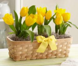 Gelbe Tulpen Im Körbchen
