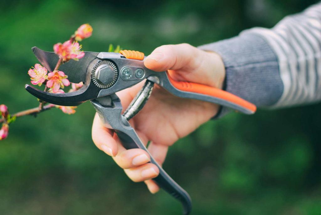 Pfirsichbaum schneiden fördert Fruchtansätze