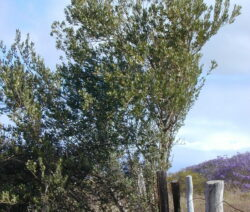 3 Olivenbaum