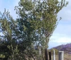 Olivenbaum Im Freien