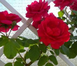 3 Rose Rankgerüst