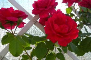 Rote Rose Rankgerüst