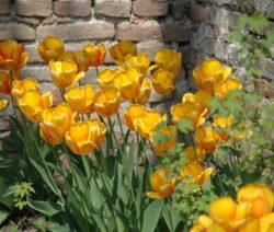 3 Tulpen Gelb Im Beet