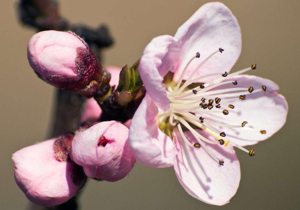Blütenknospen und Blüte des Pfirsichbaums