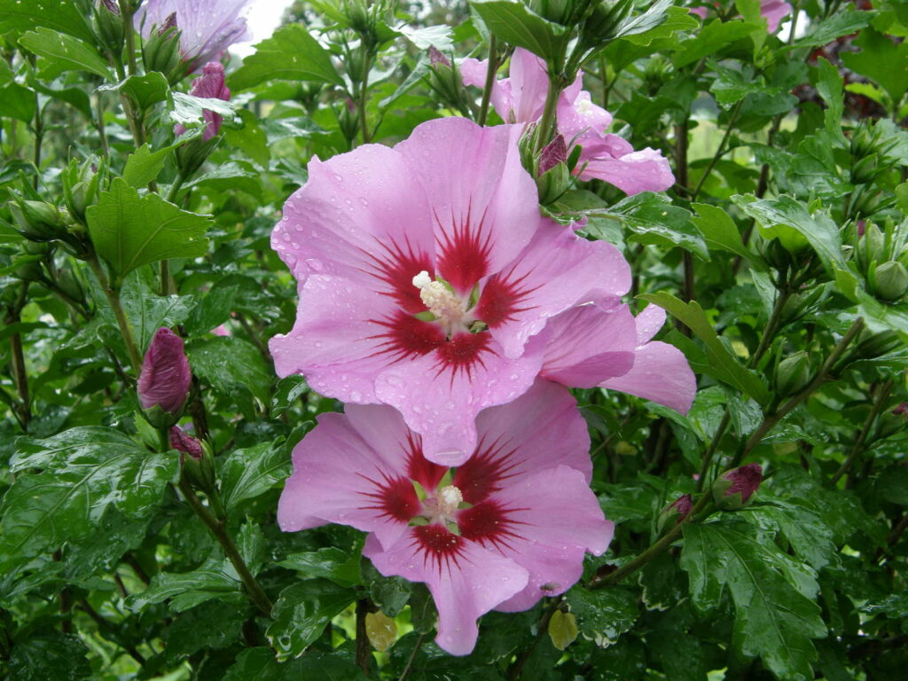 hibiskus pflanzen expertentipps f r standort vermehrung. Black Bedroom Furniture Sets. Home Design Ideas