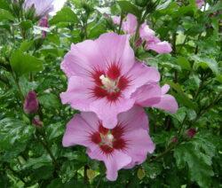 4 Hibiskus Blüte Rosa