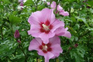 Hibiskus Blüte Rosa