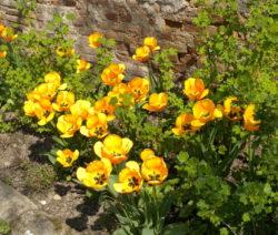 4 Tulpen Gelb Im Beet