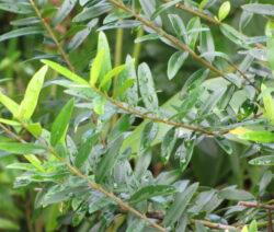 5 Afrikanische Olive