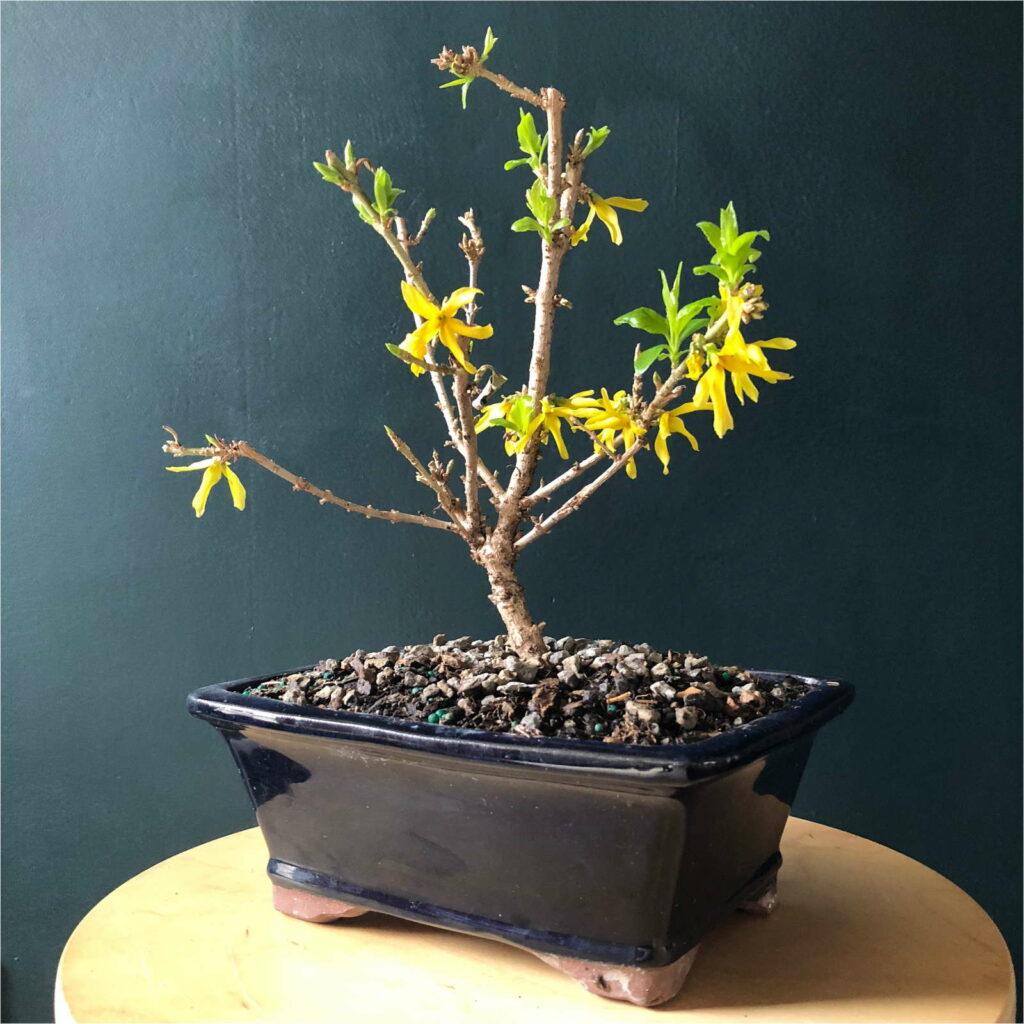 Forsythie Bonsai auf Tisch schwarzer Hintergrund