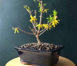 5 Forsythie Bonsai