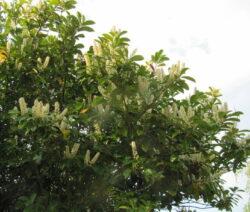 5 Kirschlorbeer Blüte