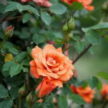 Rose Blüten