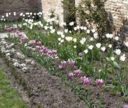 5 Tulpen Im Beet