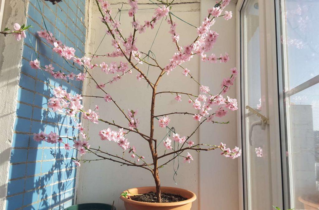 Pfirsichbaum steht auf Balkon
