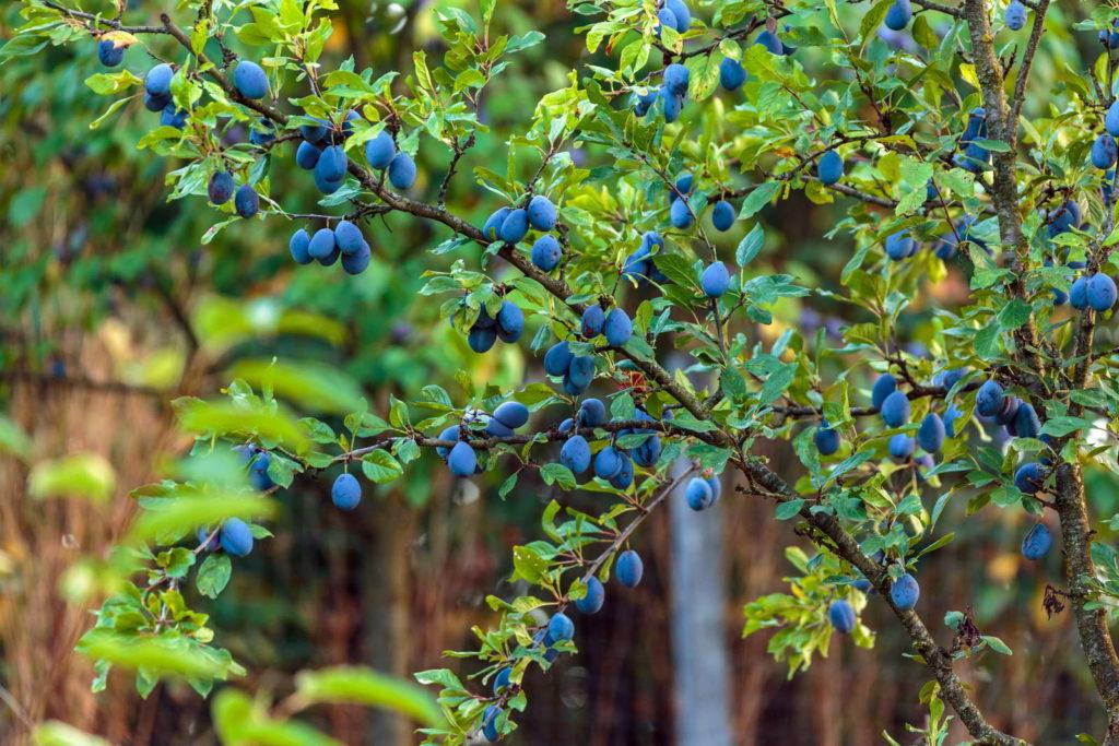 Pflaumenbaum mit vielen Pflaumen im Garten
