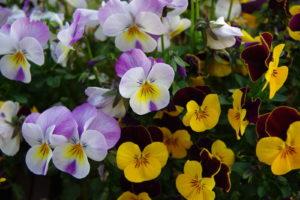 Hornveilchen Rosa Gelb Pflanzen