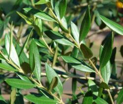 7 Olive Zweige