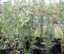 Junge Oliven Im Topf