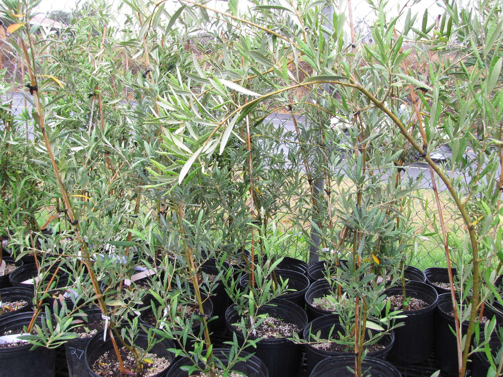 Olivenbaum Stecklinge Kaufen : olivenbaum alles zum pflanzen pflegen berwintern ~ Michelbontemps.com Haus und Dekorationen