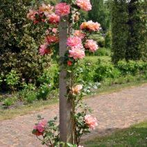 8 Rose Pfosten Kletterrose