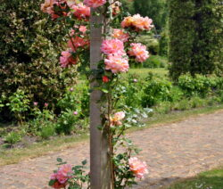 8 Rose Pfosten