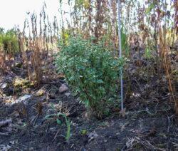 Hibiskus Jungpflanze Im Beet