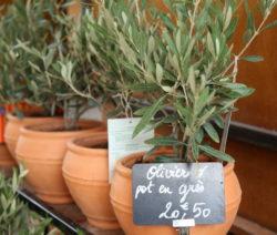 Olivenbaum Im Topf Verkaufsschild