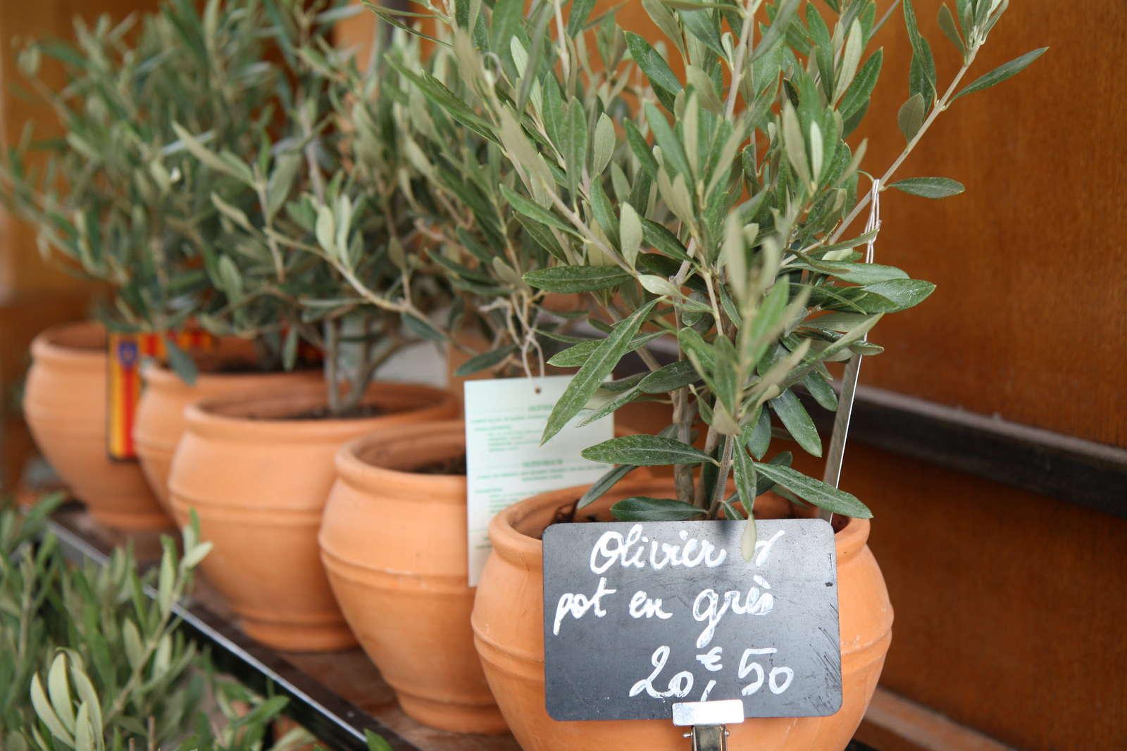 olivenbaum alles zum pflanzen pflegen berwintern plantura. Black Bedroom Furniture Sets. Home Design Ideas