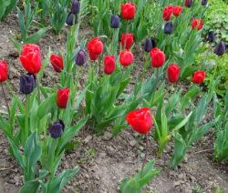 9 Tulpen Im Beet