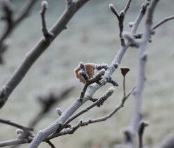 Apfel Ast Winter 1