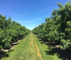 Apfelbäume Plantage 1