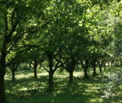 Apfelbäume Plantage 2