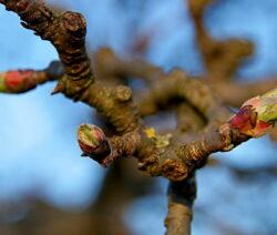 Apfelbaum Ast Knospen