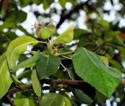 Apfelbaum Junge Äpfel 2