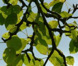 Birnbaum Äste 1