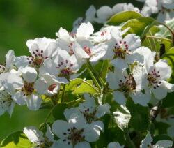 Birnbaum Blüte 4
