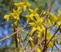 Blüte Forsythie