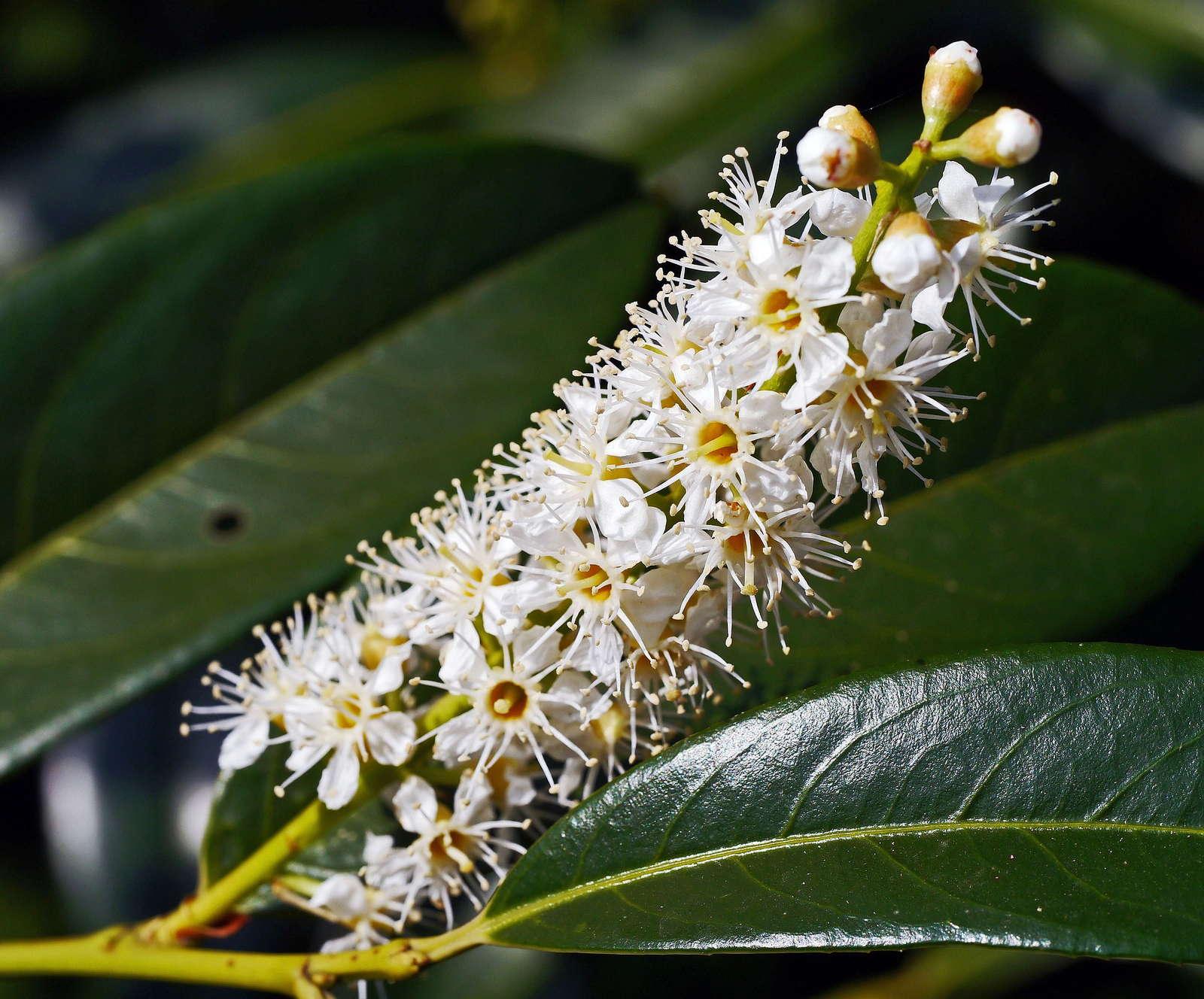 Kirschlorbeer Vorsicht Giftig Plantura