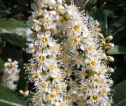 Blüte Kirschlorbeer 2