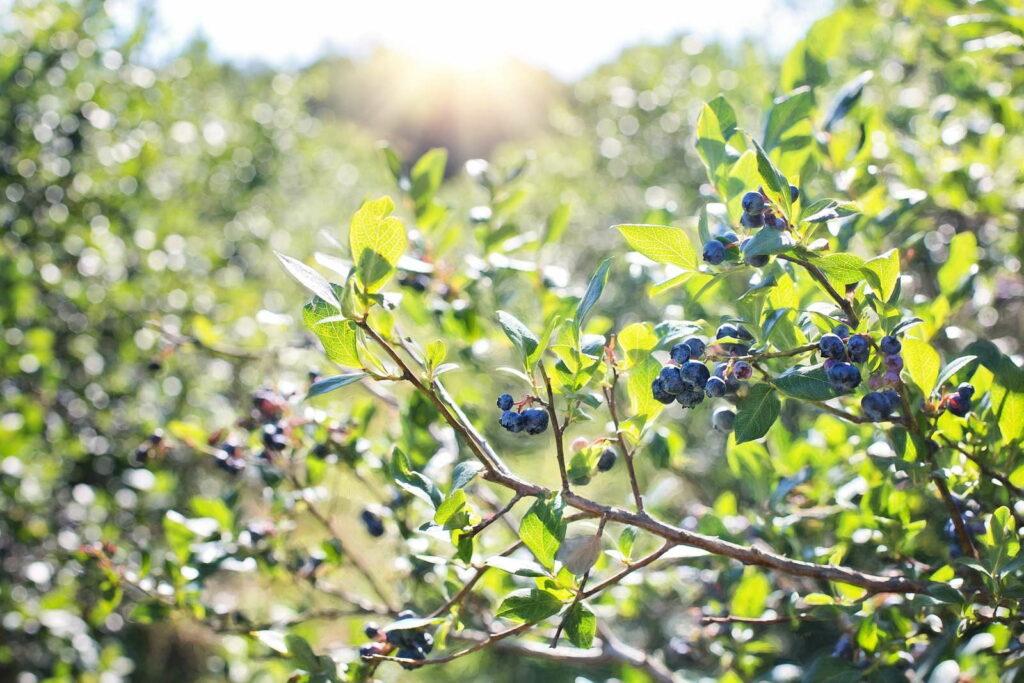 Blaubeeren Strauch Ast reife Heidelbeeren