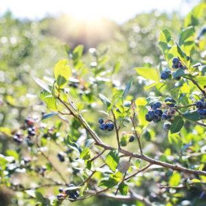 Blaubeeren/Heidelbeeren Richtig Schneiden: Tipps Vom Experten