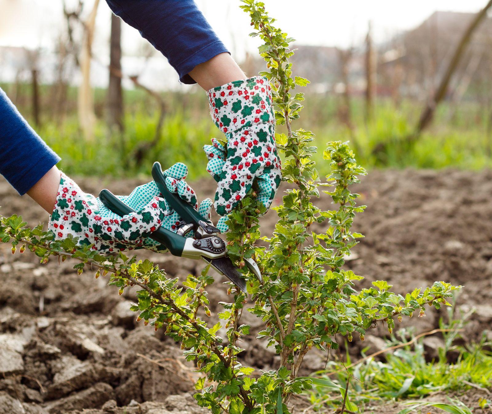 Fabelhaft Stachelbeeren schneiden: Profi-Tipps zum Beschneiden - Plantura &BH_12