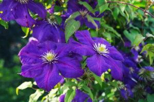 Clematis The President Violette Blüten