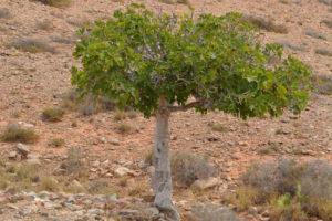 Feigenbaum Wüste