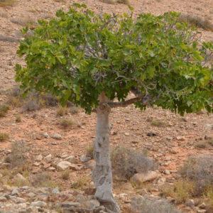 Feigenbaum Schneiden: Tipps Vom Experten