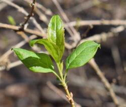 Forsythie Ast Blätter