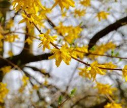 Forsythie Ast Gelbe Blüten
