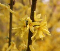 Forsythie Ast Gelbe Blüten 3