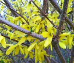 Forsythie Ast Gelbe Blüten 6
